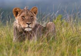 Kariega Lioness