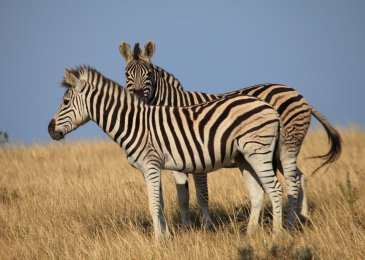 botlierskop zebra