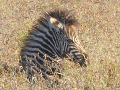Yvonne zebra