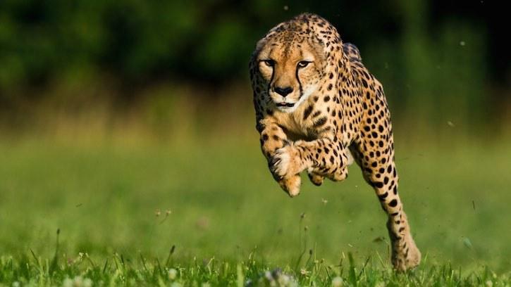 Epic Africa Travel cheetah